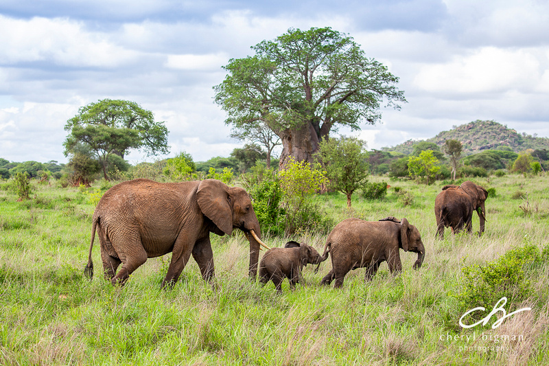 Elephant-Family-with-Baobab-Trees