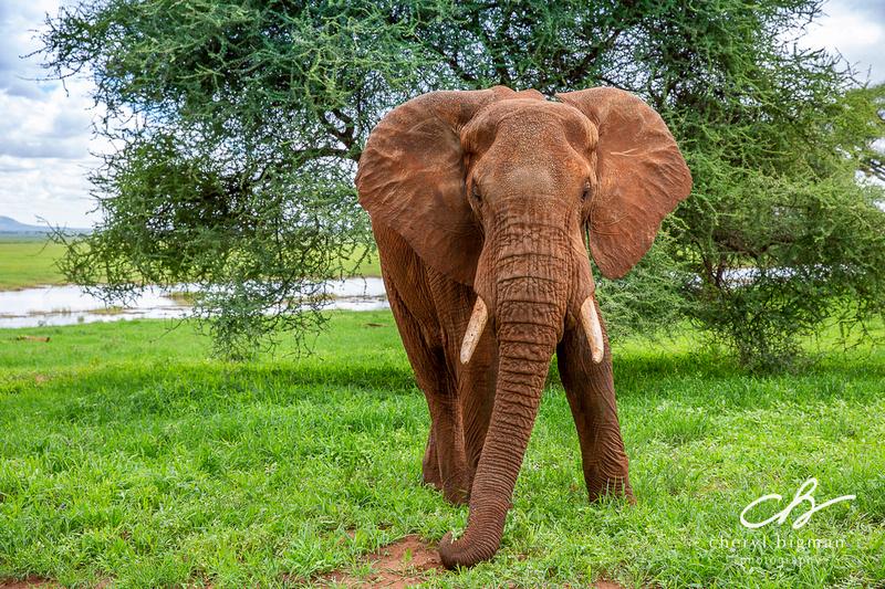 Elephant-Tarangire-Tanzania