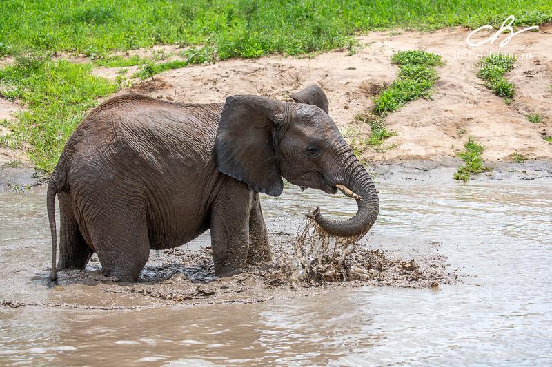 Elephant-Swimming-Tanzania