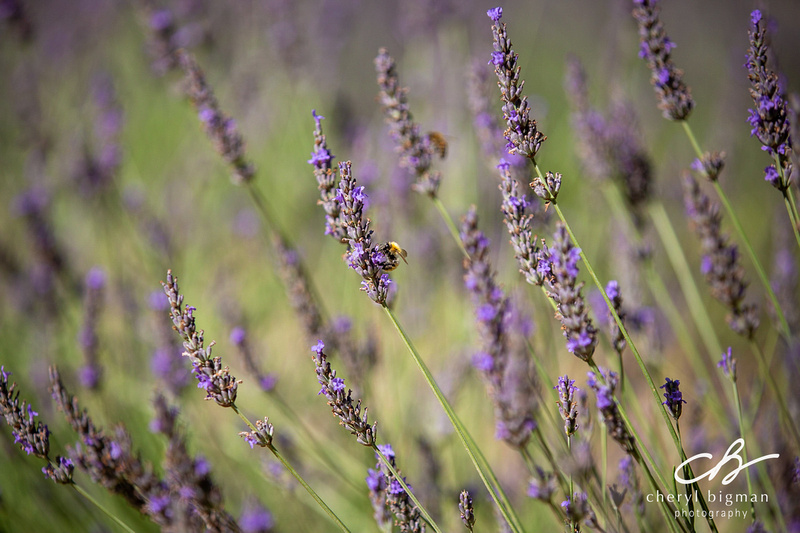 Bee-Pollinating-Lavender-Provence