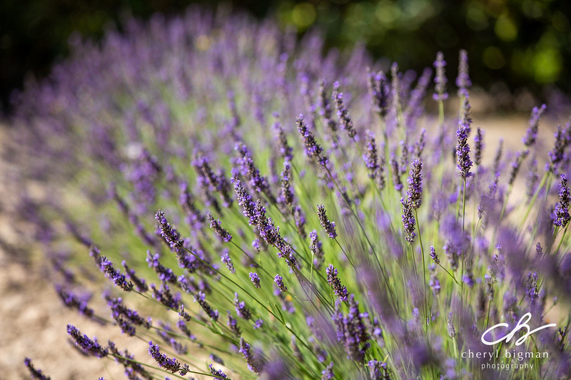 Lavender-Field-Detail-in-Provence