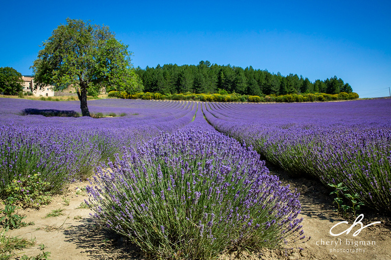 Lavender-Field-with-Trees