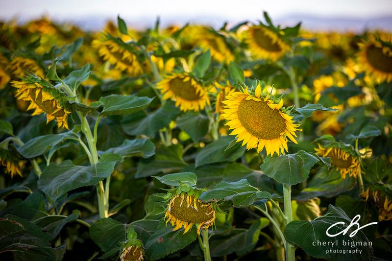 Sunflowers-at-Dusk-Woodland-CA