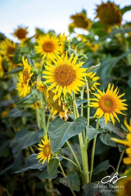 Sunny-Sunflowers-Woodland-CA