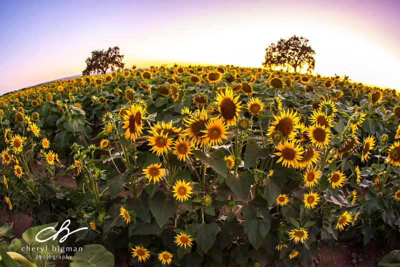 Sunflower-Field-Fisheye-View