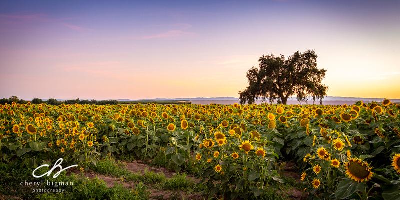 Panoramic-Sunflower-Field-at-Sunset