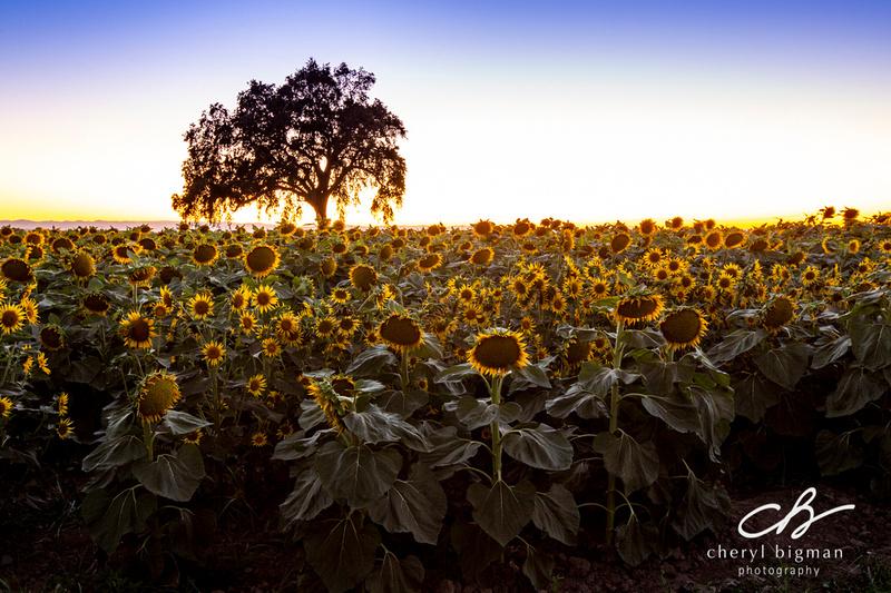Backlit-Sunflower-Field-at-Dusk-Woodland-CA