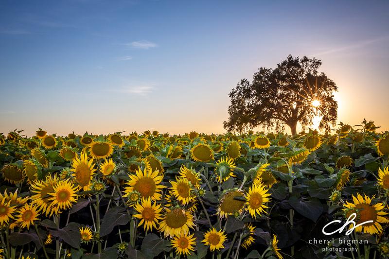 Sunflower-Landscape-with-Starburst